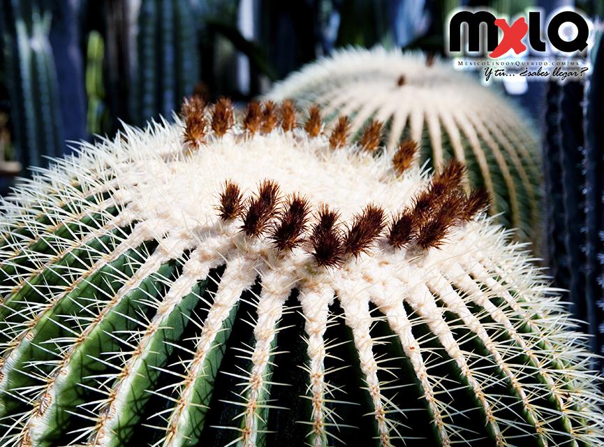 M xico lindo y querido todo sobre el cactus mexicano for Informacion sobre el cactus